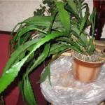 Кактус эпифиллум от псориаза фото