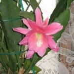Эпифиллум dreamland для лечения псориаза фото